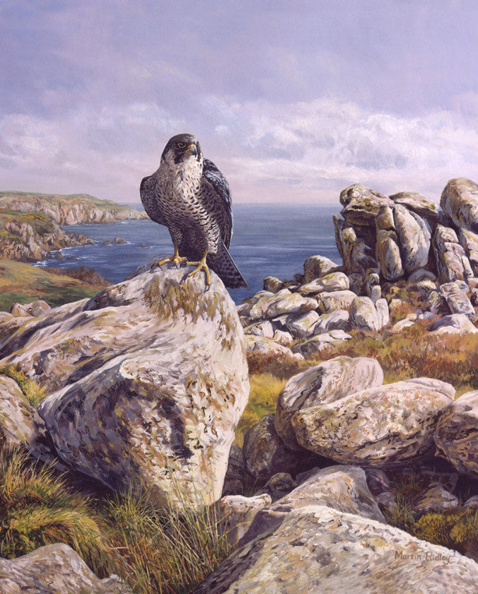 Peregrine falcon picture - from a bird of prey painting by bird artist Martin Ridley