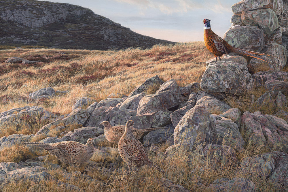 Ring-necked pheasants picture by Martin Ridley - Pheasant print