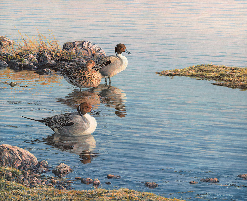 Print of a trio of Pintail ducks on the shoreline.