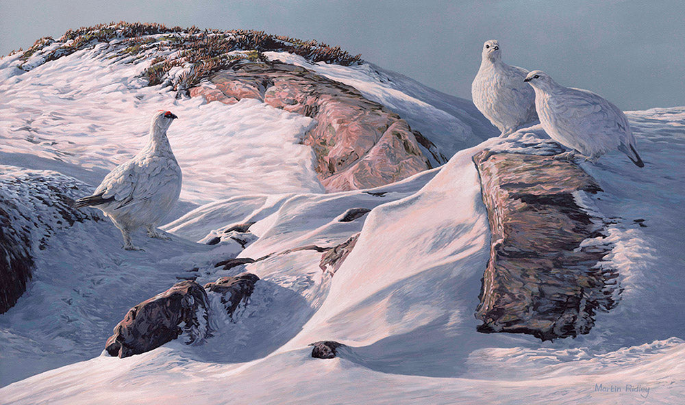 Print of ptarmigan in snow and rocks