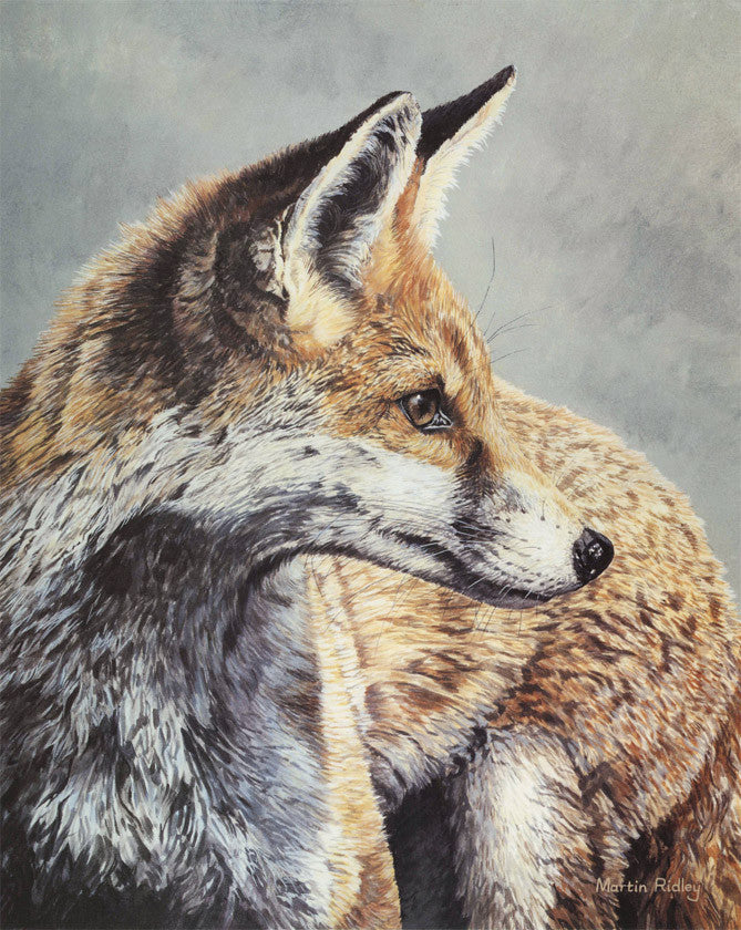 Red fox head study by Martin Ridley - limited edition print