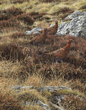 Red Grouse Prints for Sale