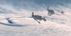 Mountain hares otherwise know as blue hares running in the snow. Print on canvas