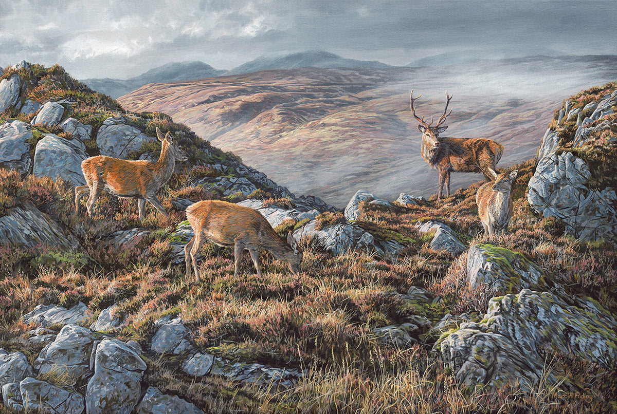 Picture of red deer stag holding his hinds in Scottish landscape
