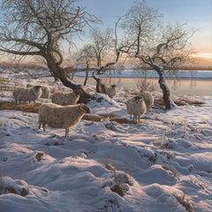 Picture of black-face sheep in a snow covered landscape by the river Spey