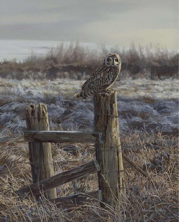 Short-eared owl print for sale - from a painting by bird artist Martin Ridley