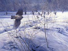 Birds of Prey Pictures - Hunting Sparrowhawk Print
