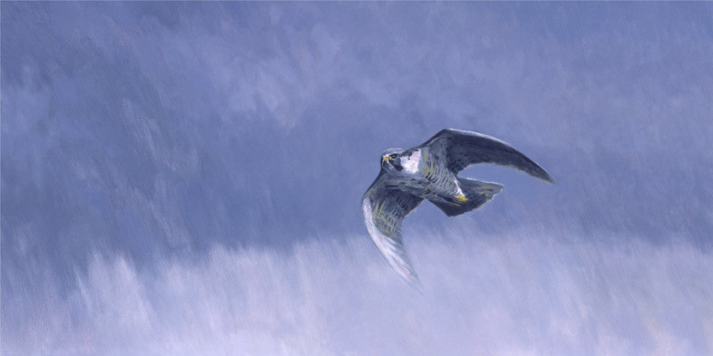 Canvas print of a stooping peregrine falcon - falconry art