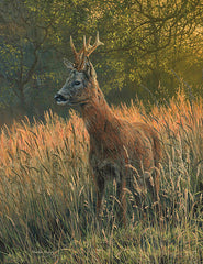 Picture of roe buck in field of summer grasses