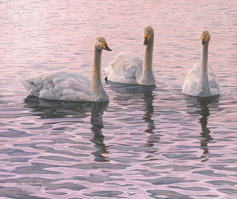 """Whooper Swans Trio"" Canvas Print"