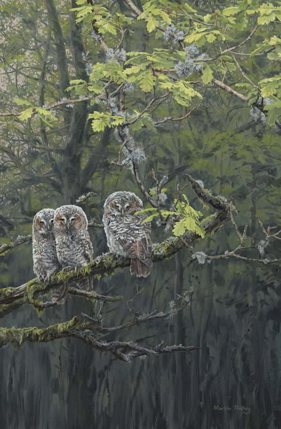 Picture of young tawny owl chicks by bird artist Martin Ridley - Owl Prints