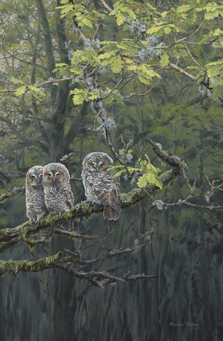 Young Tawny Owl Chicks Print