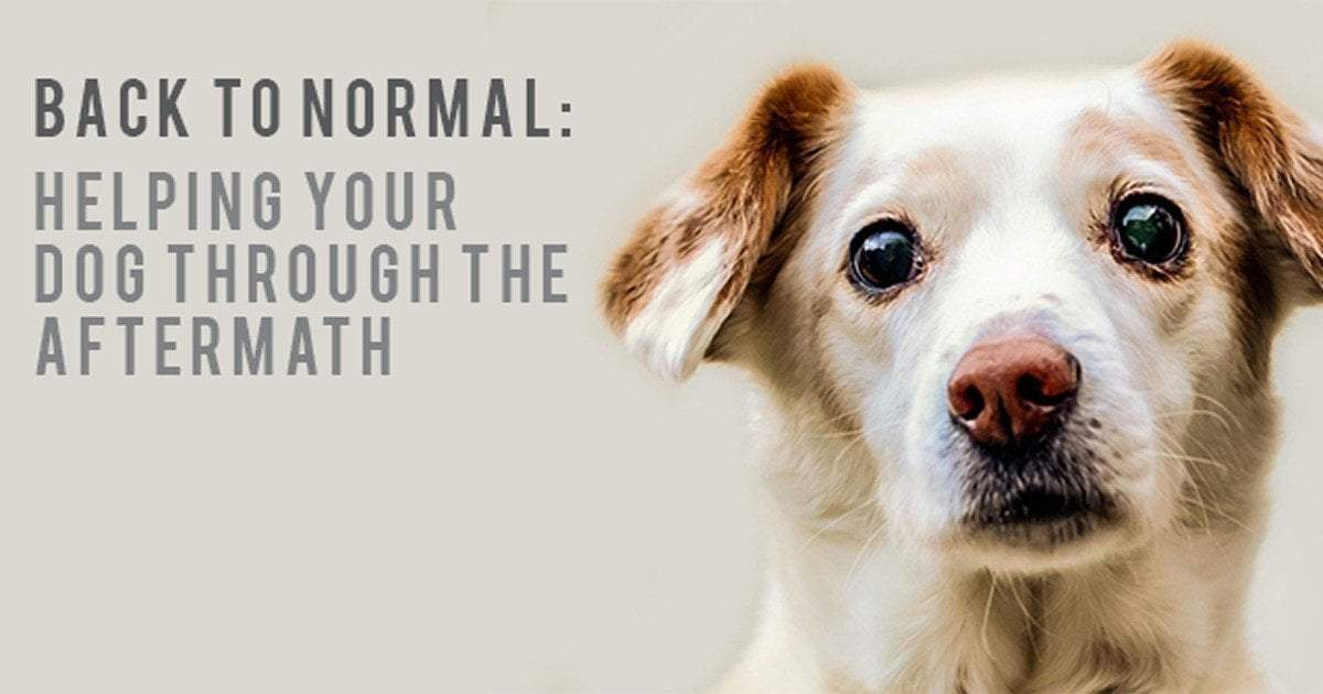 Back To Normal: Helping Your Dog Through The Aftermath