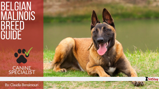 Belgian Malinois Breed Guide