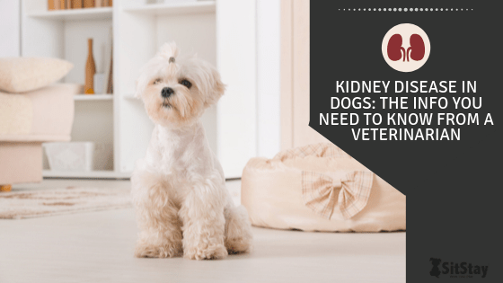 Kidney Disease In Dogs The Info You Need To Know From A Veterinarian Sitstay