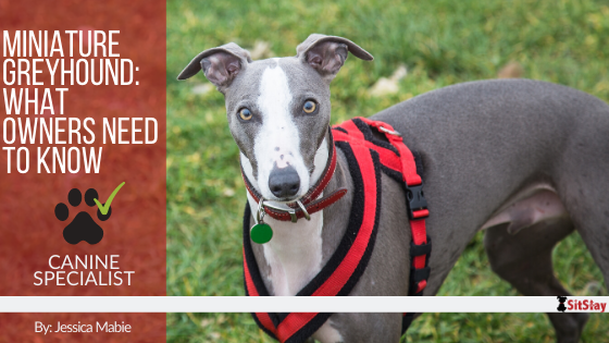 Miniature Greyhound: What Owners Need To Know