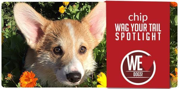 Wag Your Tail Spotlight - Featuring Chip