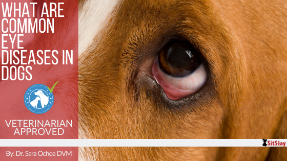 What are Common Dog Eye Diseases?