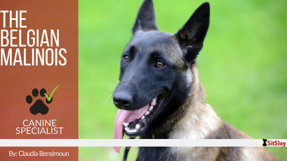 The Belgian Malinois