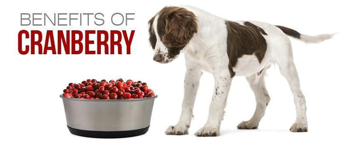 Can Dogs Have Cranberries - Health Benefits of Cranberries for Dogs