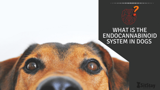 What Is The Endocannabinoid system in dogs
