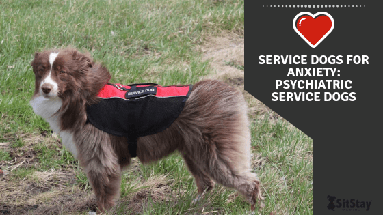 Service Dogs For Anxiety Psychiatric Service Dogs
