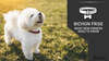 Bichon Frise - What New Owners Need To Know