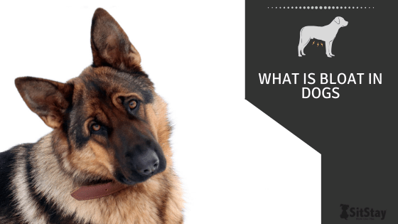 What Is Bloat In Dogs?