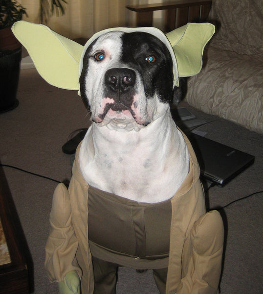 black and white pitbull wearing a yoda dog costume