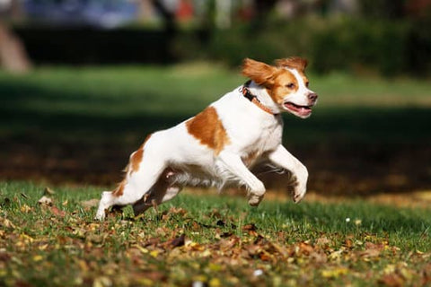Brittany running in a grassy park full of fall leaves