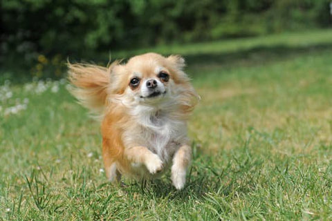 Long haired blond chihuahua running through a back yard