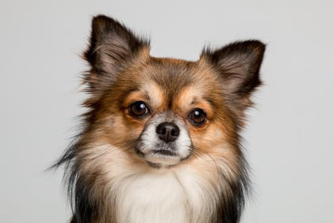 Long-haired multicolored chihuahua looking into the camera