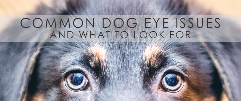 Common Dog Eye Issues And What To Look For