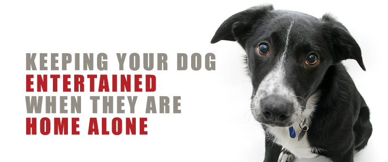 black and white dog looking sad at the camera on a white background. the text of keeping your dog entertained when they are home alone is displayed to the left of the dog