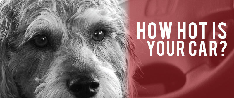 small dog in grayscale looking at the camera sitting in the driver's seat of a car. The text of how hot is your car is displayed to the left of the dog, on a red background