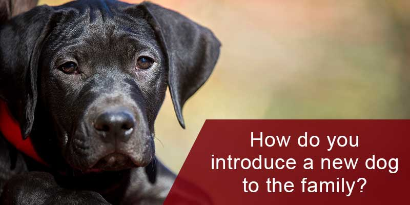 SitStay-Blog-How-Do-You-Introduce-A-New-Dog-To-The-Family-Image