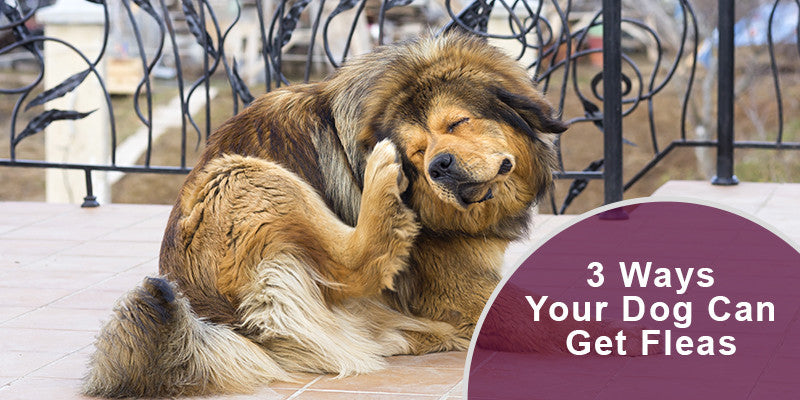 SitStay Blog: 3 Ways Your Dog Can Get Fleas