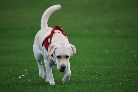 Golden Lab Puppy Walks Across Grass