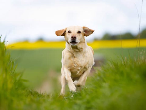 Yellow Lab running on a grass path