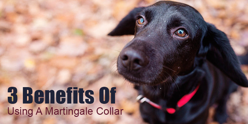 SitStay Blog: 3 Benefits Of Using A Martingale Collar
