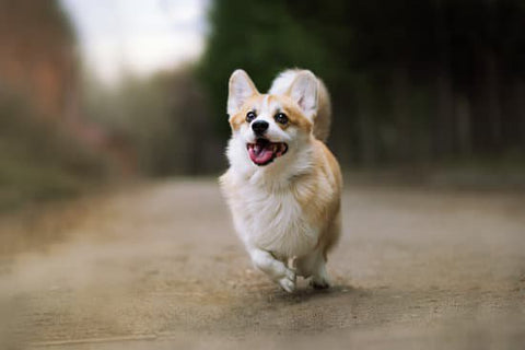 Excited corgi running on a country road