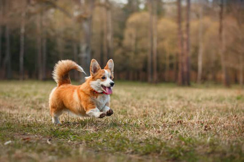 Corgi running in a park with a forest int the background