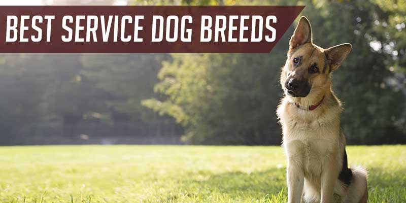 SitStay Blog: Best Service Dog Breeds