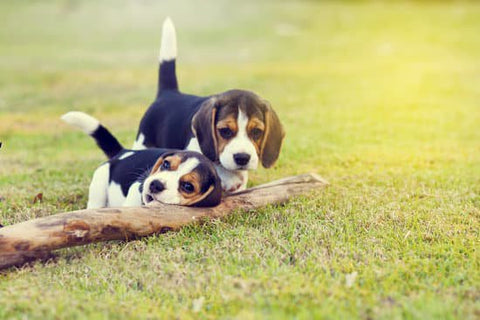 Two black beagle puppies chewing on a log