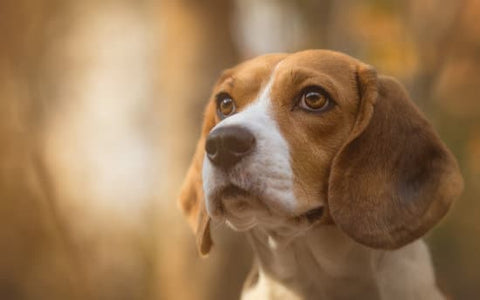Red beagle looking focused in on something in the distance