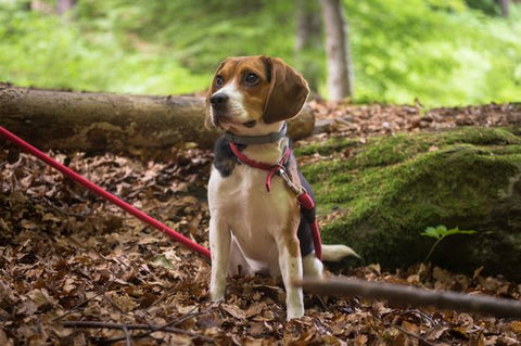 Beagle on a red leash on a hike through the woods in the fall