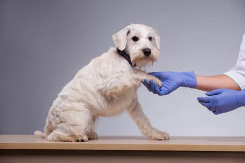 Old White dog getting its paw looked at by a vet