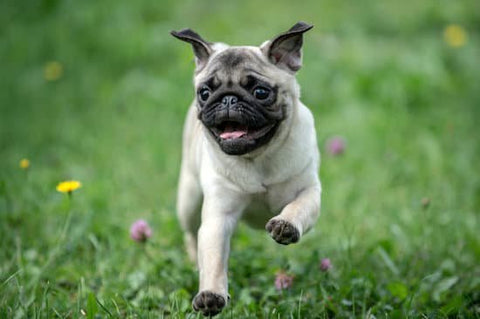 Young happy pug running through a field of flowers