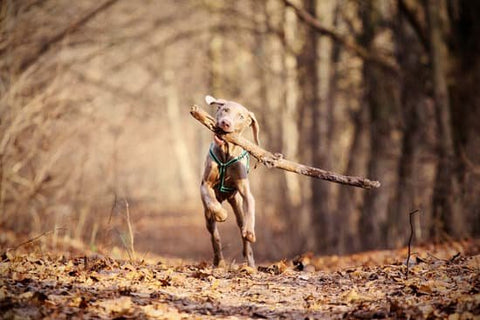 weimaraner running on a forest path in the fall with a stick in its mouth