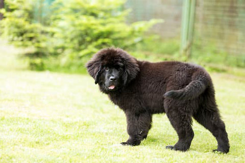 Young Newfoundland playing with its tail in the back yard